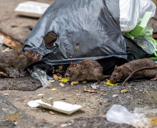 Ratas y otras plagas
